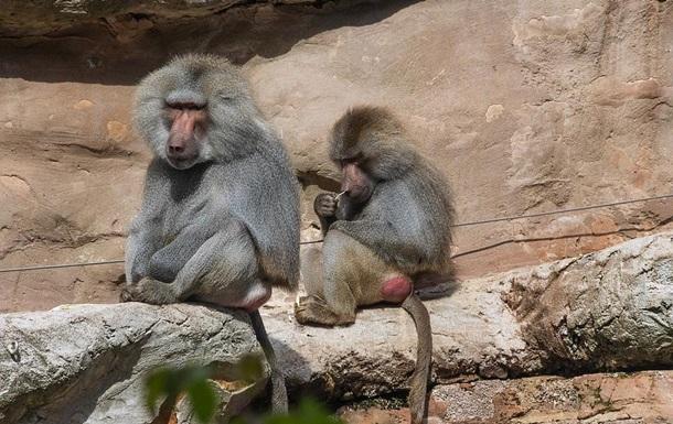 В Одессе три гамадрила сбежали из зоопарка, полиция их поймала (ВИДЕО)