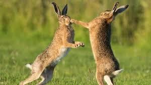 Пара зайцев подралась на дороге, игнорируя попытки людей помешать поединку (ВИДЕО)