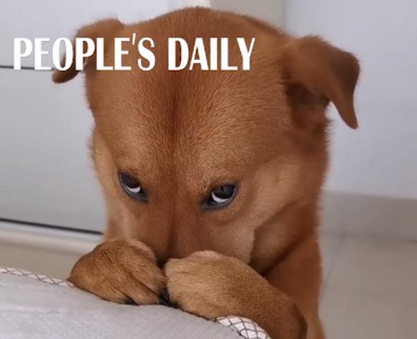 """Ел кактус и жевал туалетную бумагу. В Китае пес забавно """"раскаялся"""" за свои шалости (ВИДЕО)"""