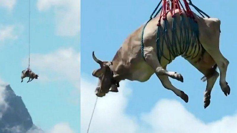Над Альпами на вертолете пролетела корова
