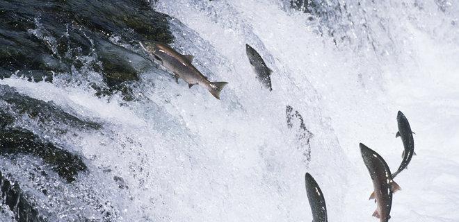 """В Шотландии с рыбной фермы """"сбежало"""" 50 000 лососей"""