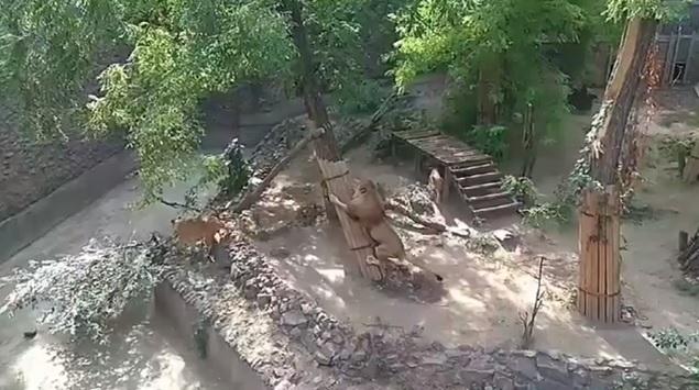 «Переезды» в Николаевском зоопарке: львы и медведица Сметанка «освобождают место» для ждущей потомства Зефирки