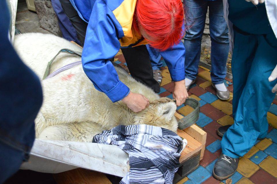 Как в Николаевском зоопарке белую медведицу Сметанку переселяли (ФОТО, ВИДЕО) 1