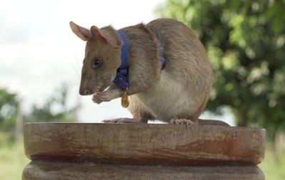 Крысу-сапера Магава наградили золотой медалью за верность долгу