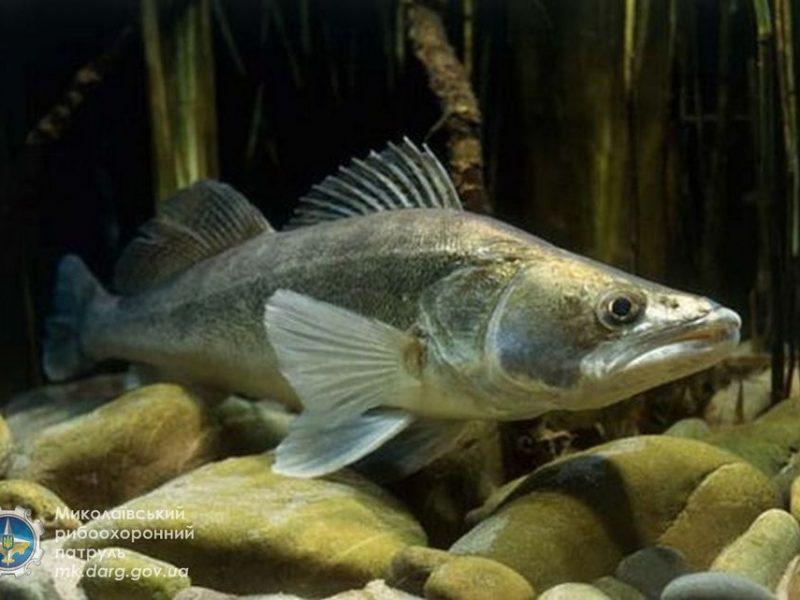 Николаевский рыбоохранный патруль поймал на Бугском лимане браконьера, добывшего морского судака сверх нормы (ФОТО)