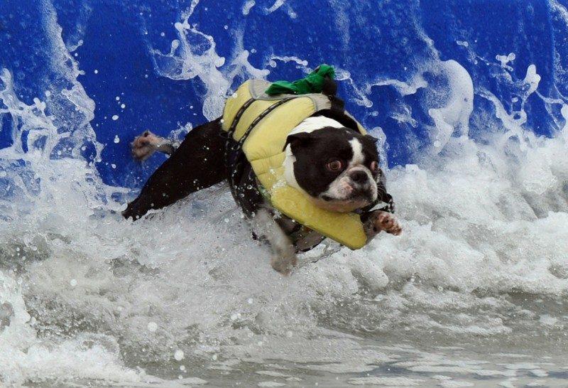 В США провели конкурс собак-серфингистов (ВИДЕО)