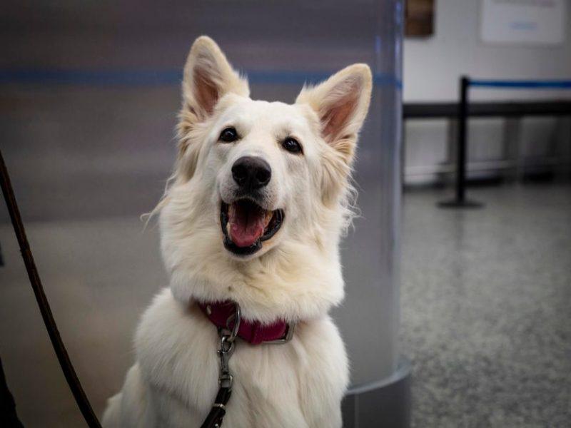 Собаки, определяющие у пассажиров Хельсинского аэропорта коронавирус, получили признание (ФОТО)