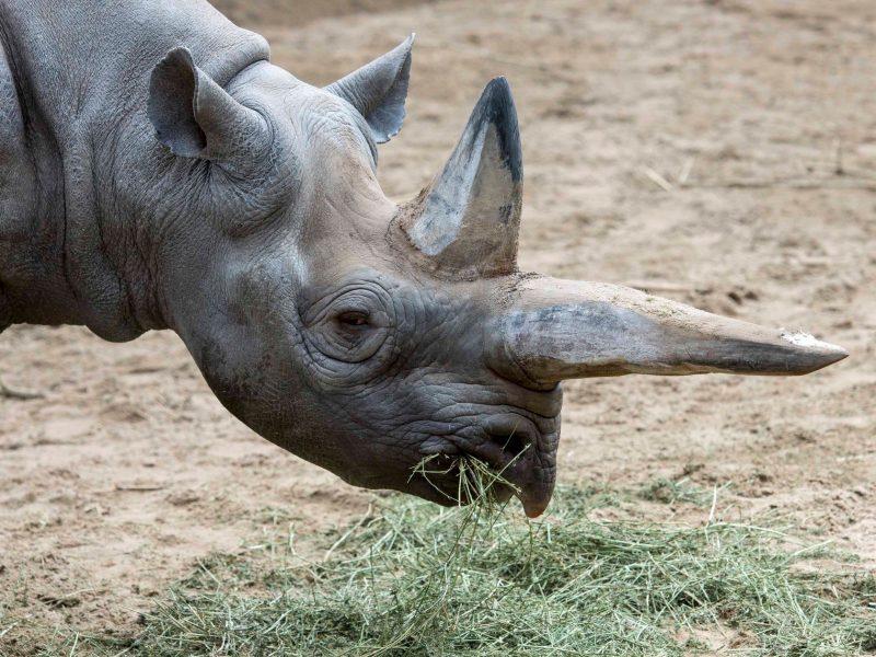 Умерла старейшая в мире самка черного носорога