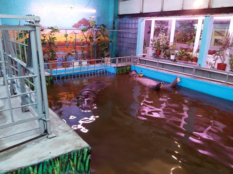 Зима близко. Николаевских бегемотов перевели в отремонтированное помещение – и потеплее (ФОТО)