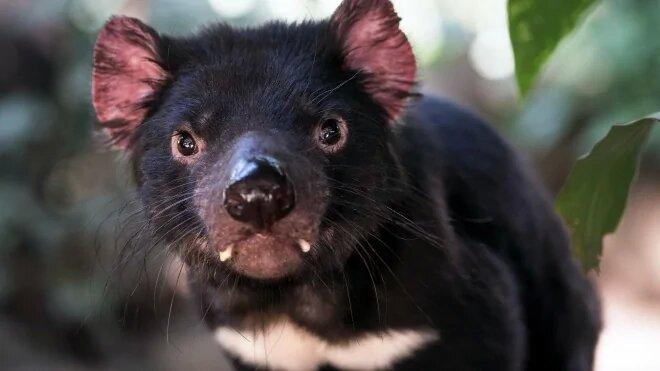 На материковой Австралии снова появились тасманийские дьяволы. Последний раз они там были 3 тысячи лет назад