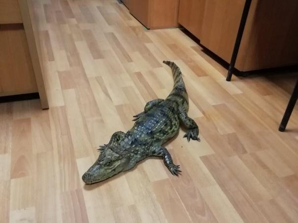 «Гоше холодно»: в России мужчина принес в отделение полиции живого крокодила (ФОТО) 7