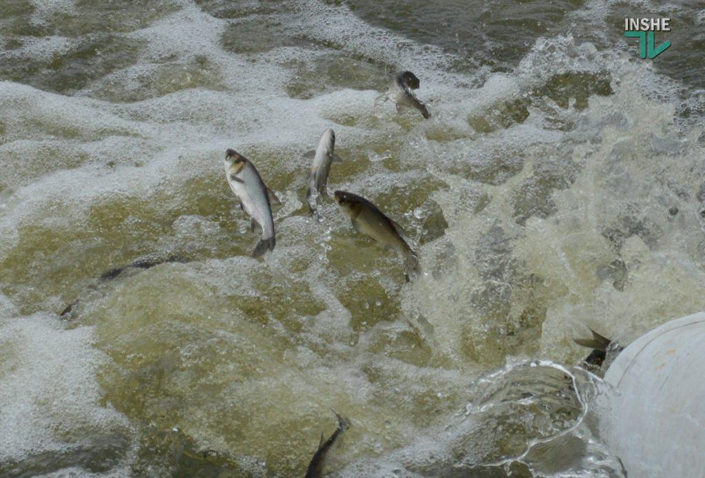 Зарыбление в Николаеве: в Южный Буг выпустили 255 тыс. экземпляров рыб (ФОТО и ВИДЕО) 19
