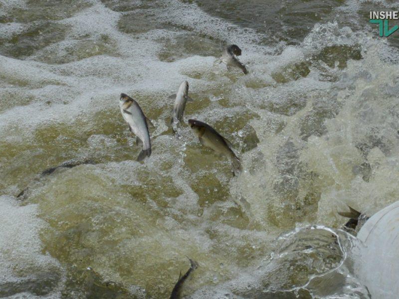 Зарыбление в Николаеве: в Южный Буг выпустили 255 тыс. экземпляров рыб (ФОТО и ВИДЕО)