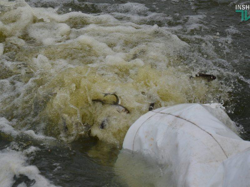 На Николаевщине впервые в Украине выпустили в водоемы 318 тыс. экземпляров мальков щуки