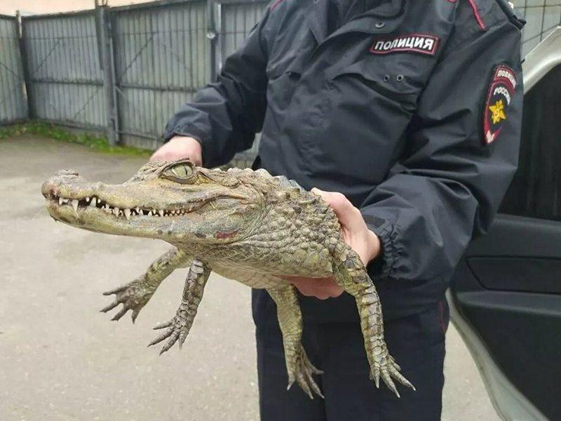 «Гоше холодно»: в России мужчина принес в отделение полиции живого крокодила (ФОТО)