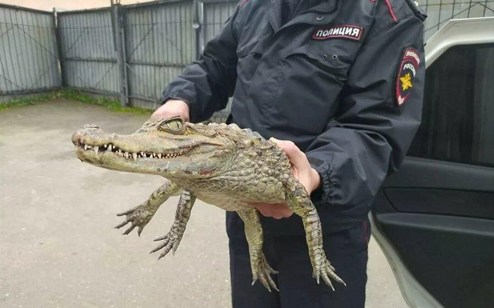 «Гоше холодно»: в России мужчина принес в отделение полиции живого крокодила (ФОТО) 1