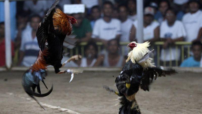 В Индии петух убил своего хозяина, пытаясь сбежать с незаконного петушиного боя