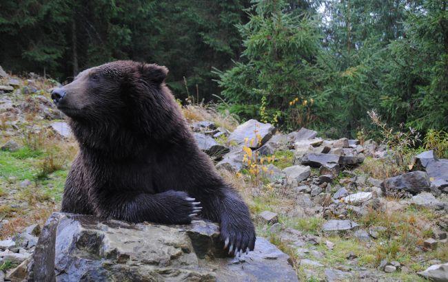 Украинским медведям подлечили зубы и вакцинировали (ФОТО)