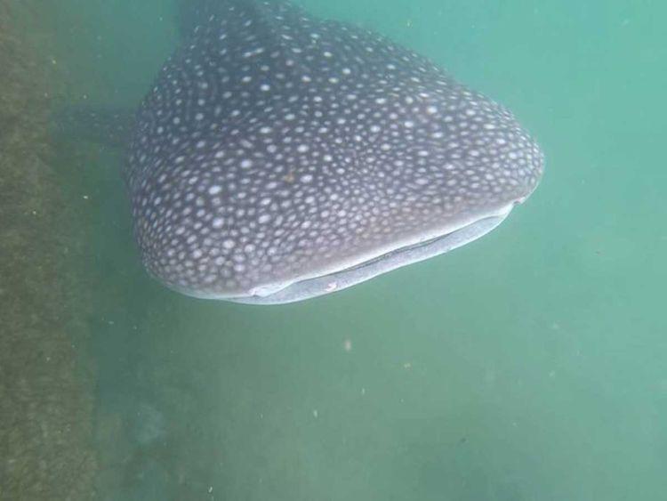 Просят не купаться: у берегов ОАЭ увидели 7-метровую китовую акулу