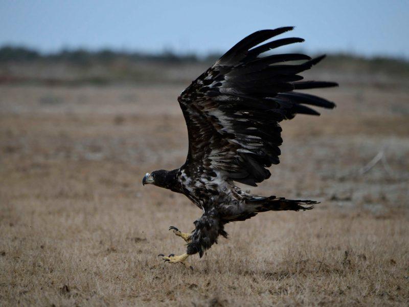 В Тилигульском ландшафтном парке  выпустили орлана, изъятого у уличных фотографов (ФОТО)