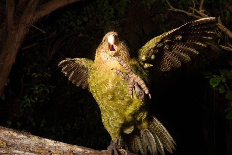 Еще птица, но почти курица. В Новой Зеландии спасают попугаев, которые разучились летать (ФОТО, ВИДЕО)