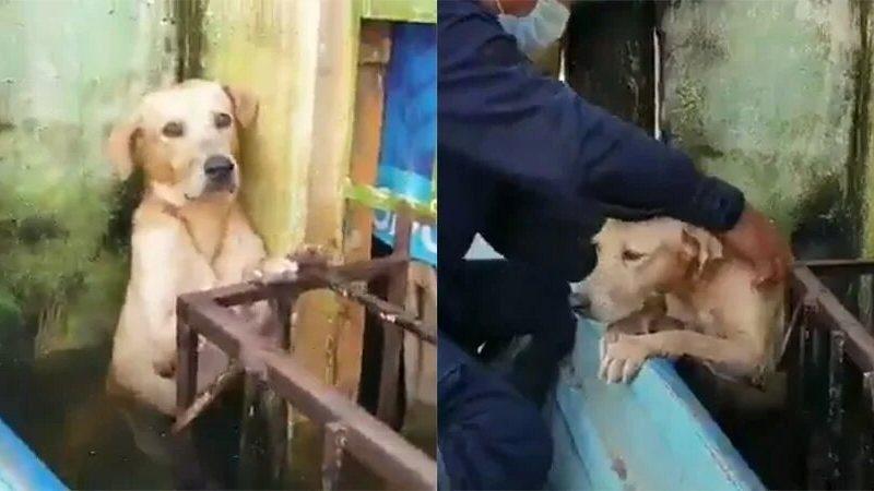 Мексиканские моряки спасли лабрадора во время наводнения — он из последних сил держался за балкон (ВИДЕО)