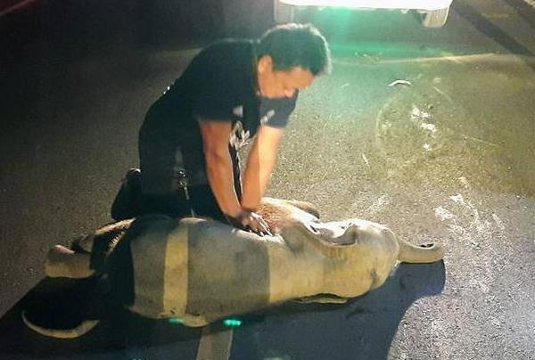 В Таиланде спасатель сделал слоненку массаж сердца и вернул его к жизни (ВИДЕО)