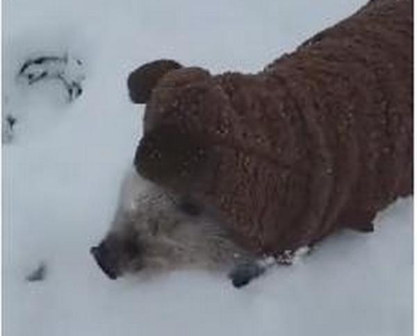Любовь с первого взгляда: как маленький мини-пиг радуется снегу (ВИДЕО)