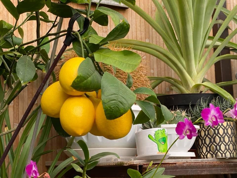 Жительница Запорожья выращивает редкие розовые бананы и много других экзотов (ФОТО, ВИДЕО) 5