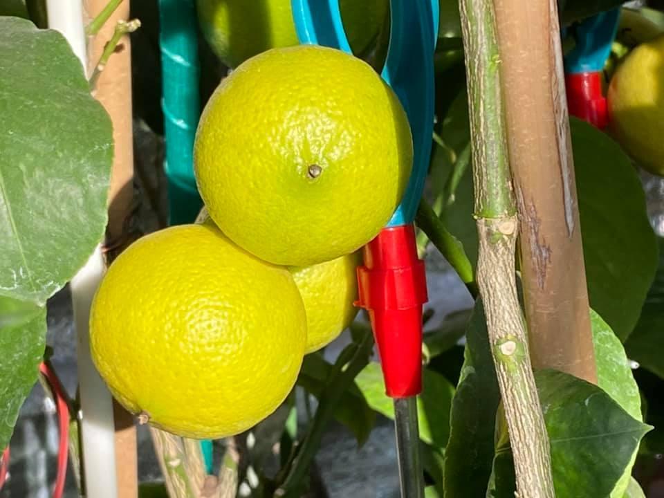 Жительница Запорожья выращивает редкие розовые бананы и много других экзотов (ФОТО, ВИДЕО) 7