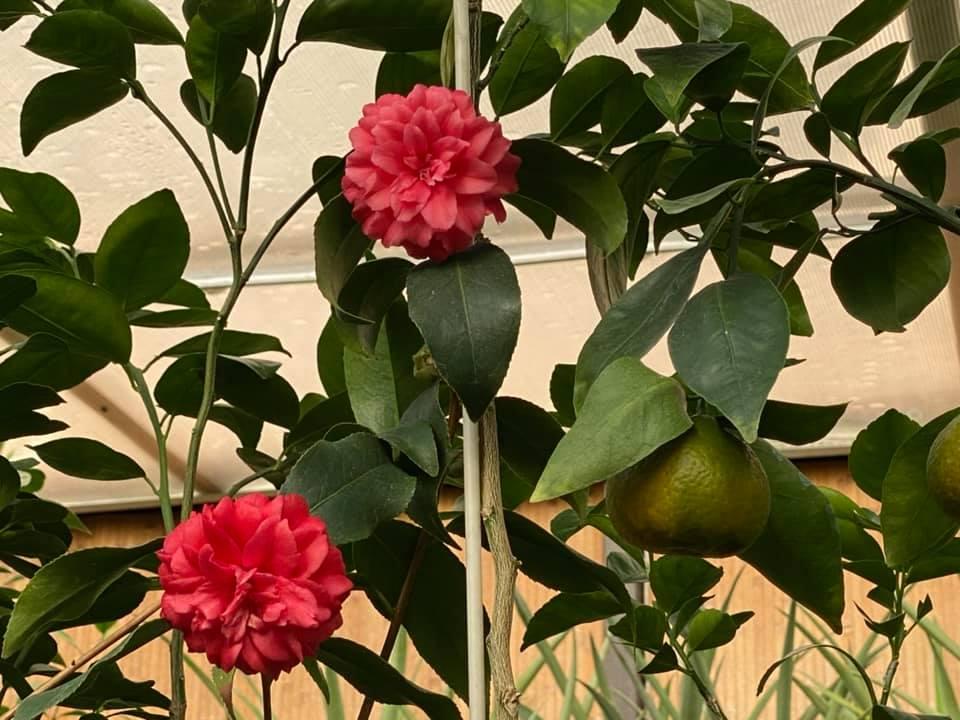 Жительница Запорожья выращивает редкие розовые бананы и много других экзотов (ФОТО, ВИДЕО) 9