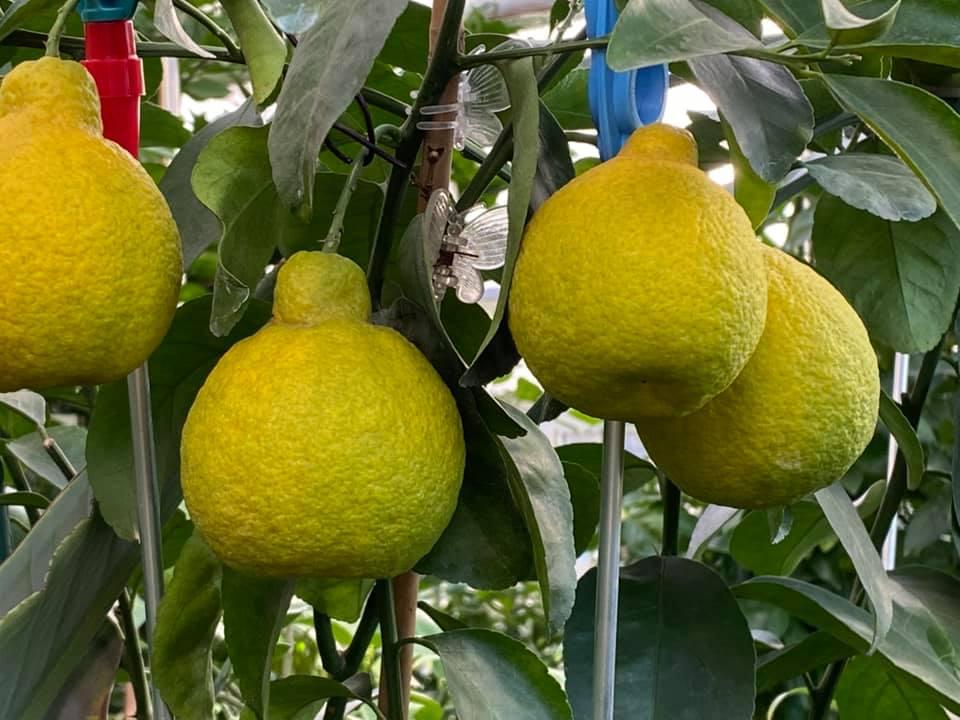 Жительница Запорожья выращивает редкие розовые бананы и много других экзотов (ФОТО, ВИДЕО) 11