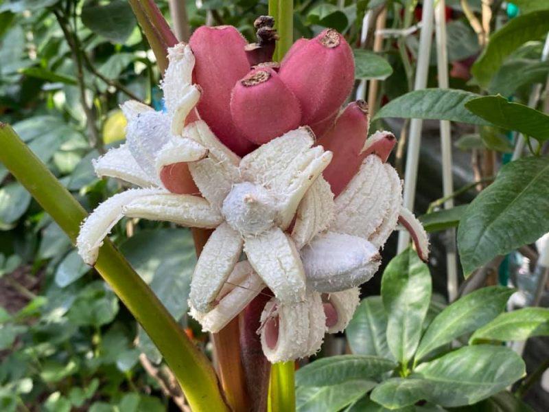 Жительница Запорожья выращивает редкие розовые бананы и много других экзотов (ФОТО, ВИДЕО)