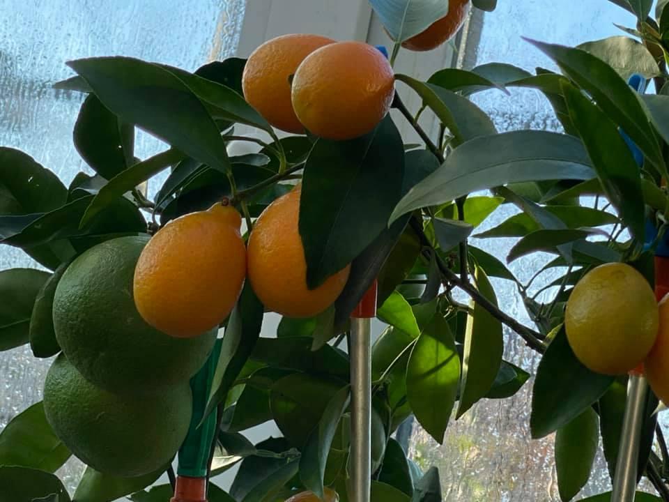 Жительница Запорожья выращивает редкие розовые бананы и много других экзотов (ФОТО, ВИДЕО) 15