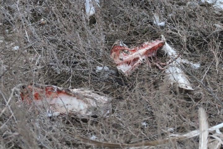 """В нацпарке """"Тузловские лиманы"""" гибнут лебеди, гуси и другие птицы от агрохимикатов (ФОТО) 3"""