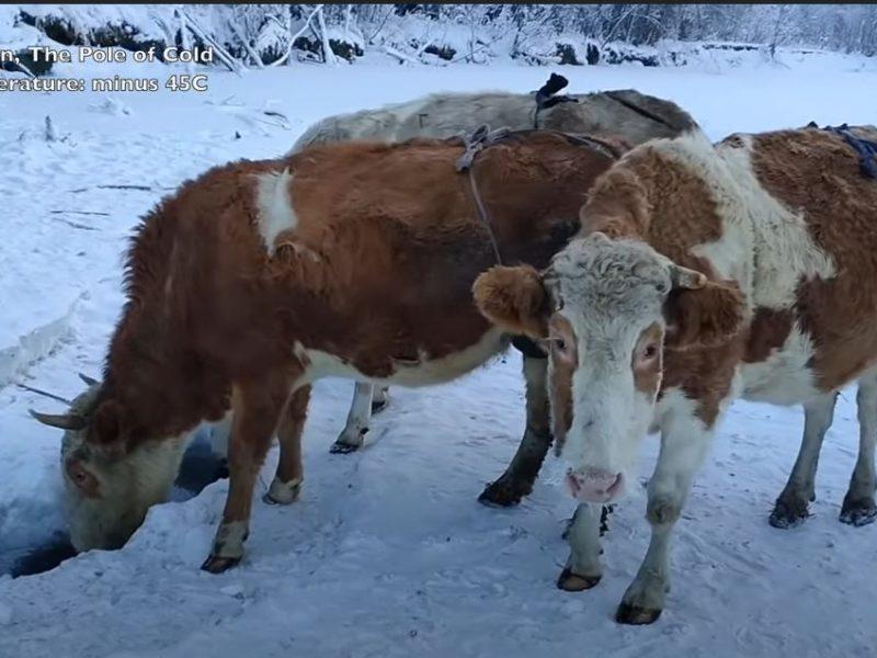 Нам не понять, но есть бюстгальтеры для коров. В  Якутии их вымя кутают в заячьи меха (ВИДЕО)