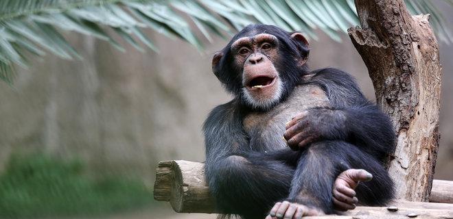 Чтобы не скучали без посетителей: в Чехии для шимпанзе из двух зоопарков включили видеосвязь