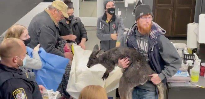 В США полицейские, пожарные и рыбаки два часа ловили сбежавшего от хозяина кенгуру (ВИДЕО)