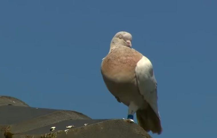 В Австралии усыпят гоночного голубя, который преодолел 13 тыс.км, прилетев из США