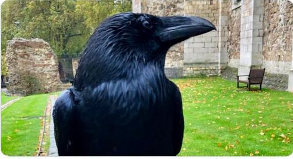 В лондонском Тауэре переживают – пропала королева воронов Мерлина