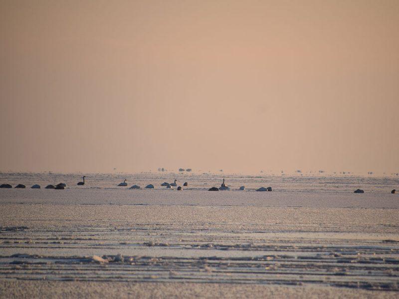 С лебедями все нормально: под Николаевом спасатели проверяли информацию о вмерзших в лед птицах (ФОТО, ВИДЕО)