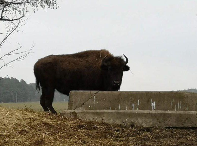Под Киевом стадо бизонов и зубров напало на туристов (ФОТО)
