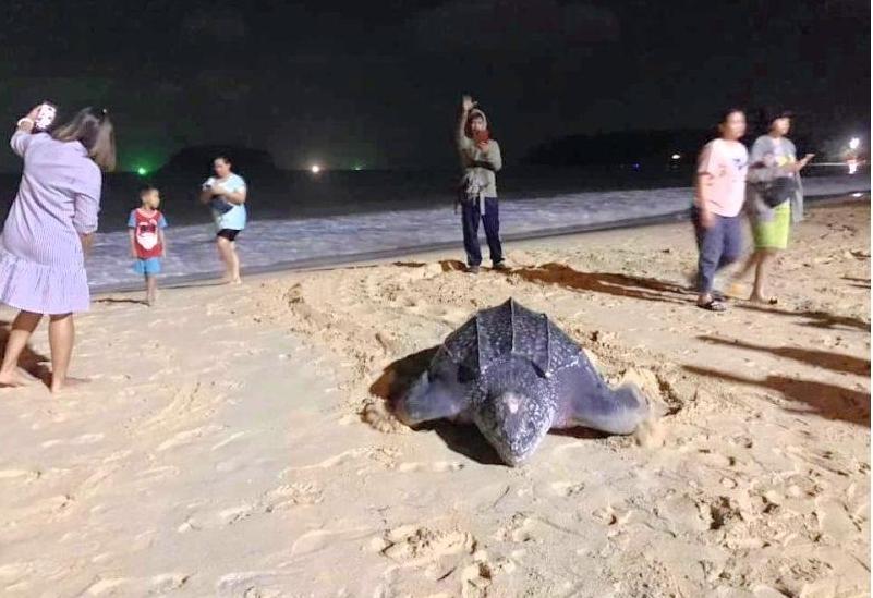 В первый час нового года: впервые за много лет морская черепаха отложила яйца на Пхукете (ФОТО) 3
