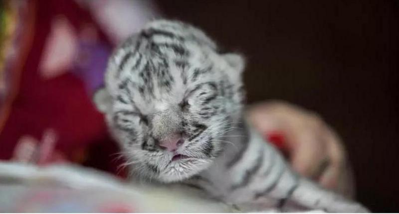 Редкий белый тигренок родился в зоопарке Никарагуа