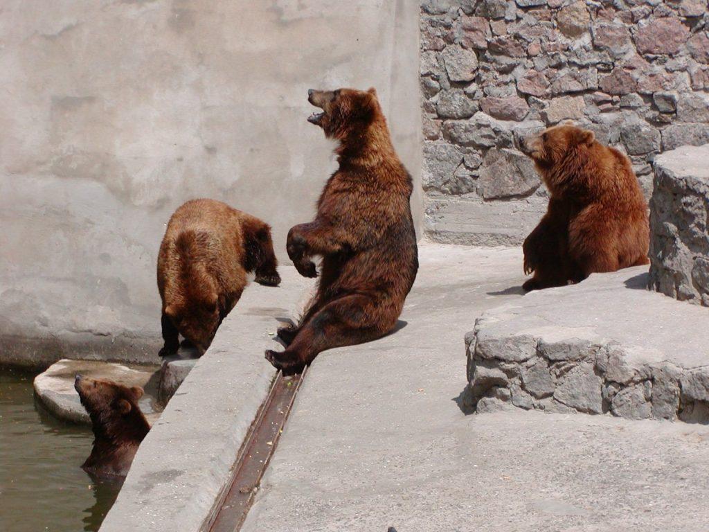 В Николаевском зоопарке именинники – камчатские медведи Мирон и Вакула (ФОТО) 3