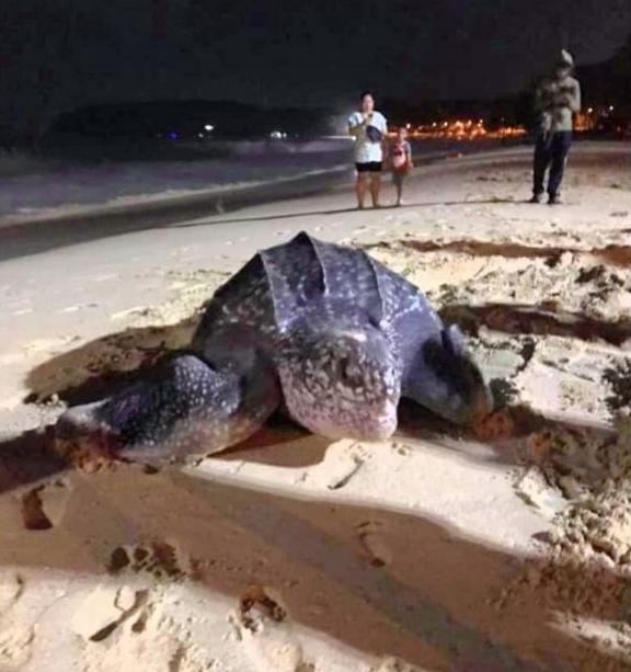 В первый час нового года: впервые за много лет морская черепаха отложила яйца на Пхукете (ФОТО) 1