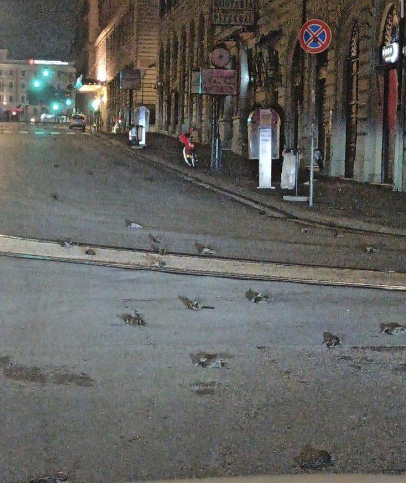 Рим засыпало сотнями мертвых скворцов – птицы погибли из-за новогодних фейерверков (ФОТО, ВИДЕО) 5