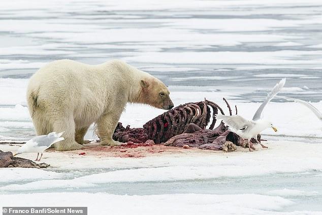Удивительная встреча яхтсменки с белым медведем, запечатленная фотографом дикой природы (ФОТО) 7