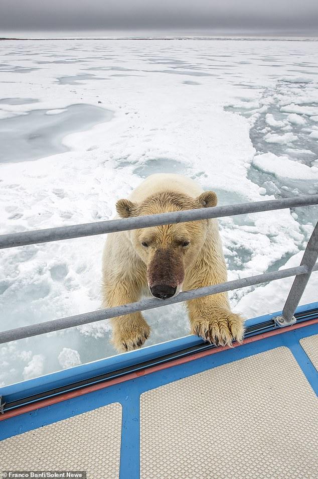 Удивительная встреча яхтсменки с белым медведем, запечатленная фотографом дикой природы (ФОТО) 9