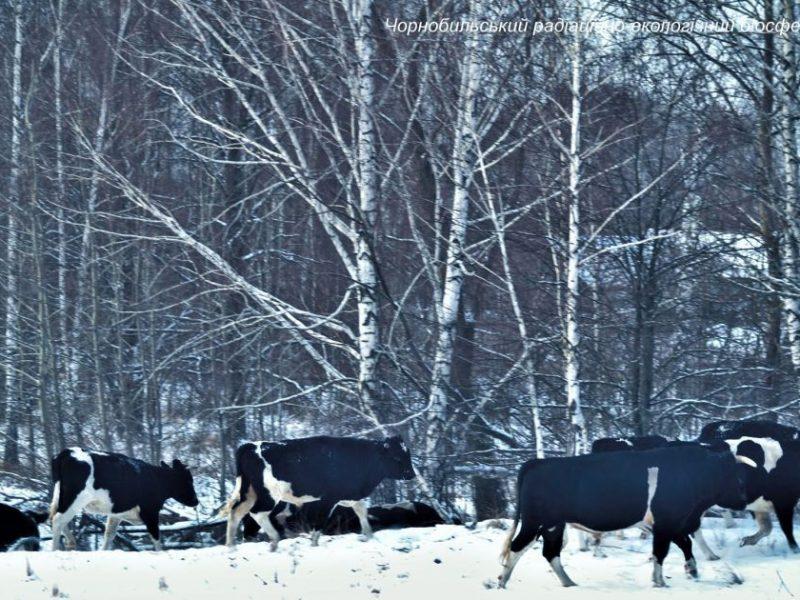 В Чернобыльском заповеднике обнаружили большое стадо диких коров